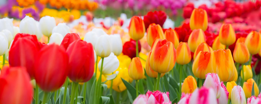 Holiday or birthday panoramic background with tulip flowerbed, red, yellow, white, flower garden