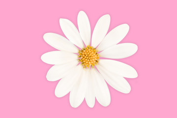 Fotorolgordijn Madeliefjes Close up of a daisy isolated on pink background