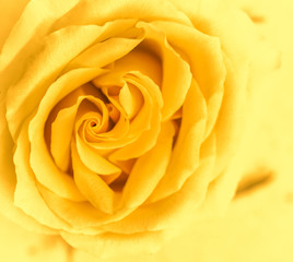 Spoed Fotobehang Macro Soft focus, abstract floral background, yellow rose flower. Macro flowers backdrop for holiday brand design