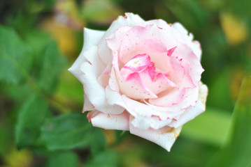 Beautiful closeup white and pink rose flower picture in the garden. Natural beauty spirit, summer sunshines and gardening concept. Floristic composition.