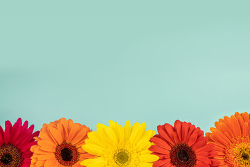 Different color flowers gerberas on a light blue background, free copy space