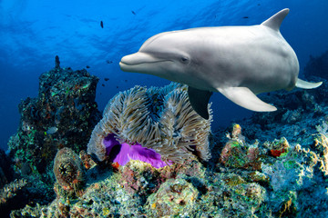 Photo sur cadre textile Dauphin bottlenose dolphin underwater on reef close up eye look
