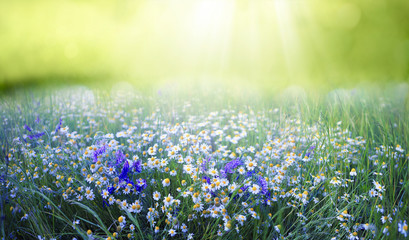Fototapete - Beautiful field meadow flowers chamomile and violet wild bells in morning green grass in sunlight, natural landscape, close-up. Delightful pastoral airy fresh artistic image nature.