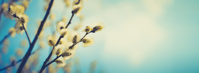 Blooming fluffy willow branches in spring close-up on nature macro with soft focus on turquoise blue background sky. Vintage muted tones, copy space, ultra-wide format.
