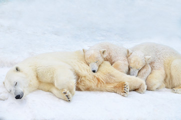 Poster Ijsbeer polar bear with cubs sleeping in the snow