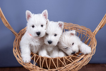 three funny white west highland terrier dogs puppy sit in their aviary for little dog indoor, dog breeding business concept Fotobehang
