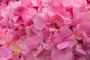 Deurstickers Hydrangea Bunch of vibrant pink blooming Hydrangea flowers. Red hydrangea flowers in a city park. Close-up of a spherical inflorescence of red hydrangea in the garden