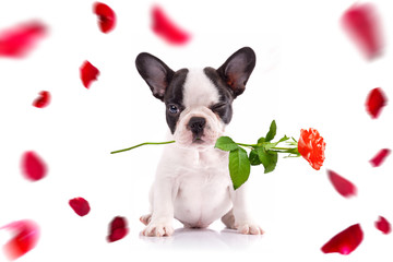 French bulldog poppy with red rose in the muzzle for valentines day.
