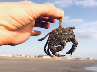 A brown north sea crab crustacean in the palm of a woman hand. edible shellfish marine life. Seaside food chain and cuisine. Fantastic crab claw fresh crab meat. Wall mural