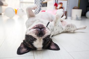 Poster Bouledogue français Adorable french bulldog posing on the floor