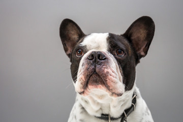 Poster Bouledogue français Adorable french bulldog portrait