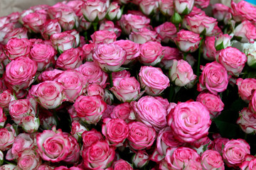 Close up view of bunch of rose buds just opening into tight flowers