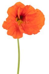 Foto auf Leinwand Mohn nasturtium flower isolated
