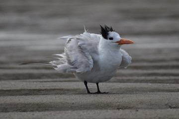 White and gray bird with ruffled feathers at the beach