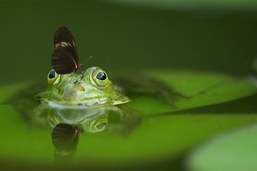 Tuinposter Kikker green frog with a butterfly on his head sitting on a leaf