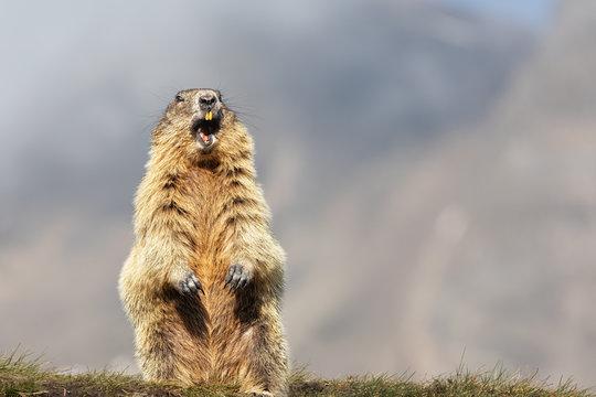 Alpine Marmot (Marmota marmota) Standing Upright, Grossglockner, Austria