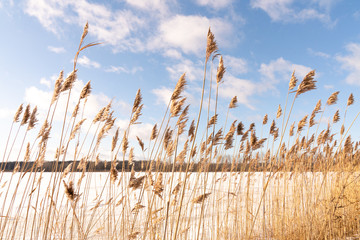 Prairie grasses in winter against a blue sky