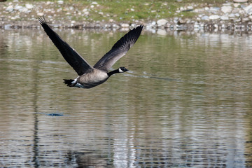 Fototapete - Canada Goose Flying Low Over the Water