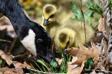 Fototapete - Newborn Goslings Learning Under the Watchful Eye of Mother