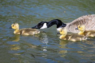 Fototapete - Newborn Goslings Learning to Swim Under the Watchful Eye of Mother