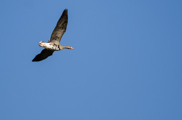 Fototapete - Lone Greater White-Fronted Goose Flying in a Blue Sky