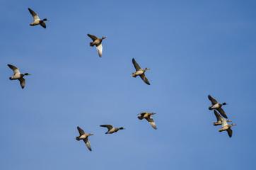 Fototapete - Flock of Mallard Ducks Flying in a Blue Sky