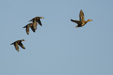 Fototapete - Mallard Duck Leading a Small Group of Wood Ducks as They Fly in a Blue Sky
