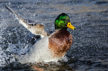Fototapete - Mallard Duck Playing and Splashing in the Cool and Refreshing Water