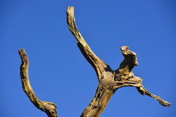 Human form dead tree, U.K. A twisting knarled branch in Winter sun.