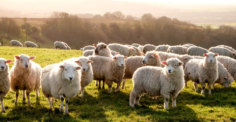 Foto op Aluminium Schapen eight sheep in a row in a field looking at the camera with a flock of sheep behind, the sun is shining