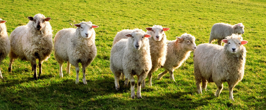 seven sheep in a row in a field looking at the camera