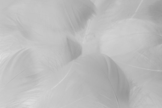 Beautiful abstract colorful black and white feathers on white background and soft gray feather texture on white pattern and gray background. black feather texture, white love banners valentine day.
