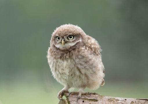 Fluffy little owl chick