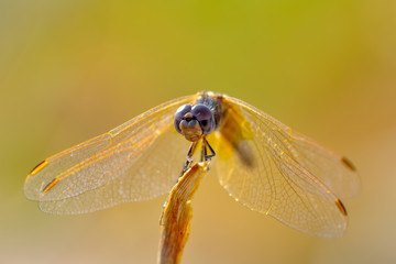 Fond de hotte en verre imprimé Papillon Macro shots, showing of eyes dragonfly and wings detail. Beautiful dragonfly in the nature habitat.
