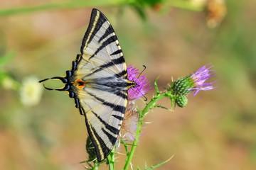 Fond de hotte en verre imprimé Papillon Closeup beautiful butterfly sitting on the flower.