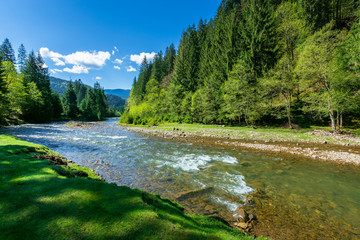 nature scene with mountain river. spring vacation in sunny valley of synevyr national park, ukraine. grassy meadow on the shore, ridge in the distance. beauty of tranquil ecology environment
