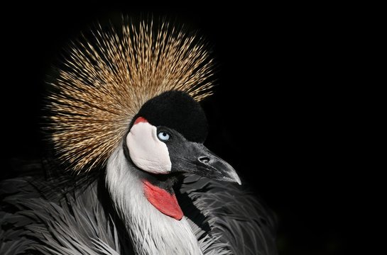 Beautiful African crowned crane with a black background
