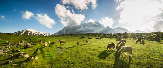 Zelfklevend Fotobehang Schapen Sheep grazing grass on meadow with  mountain view in Sonamarg, Jammu and Kashmir, India