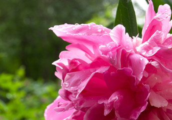 Close up photo of Pink Peony Flower.