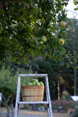 Basket of fresh picked apples in orchard