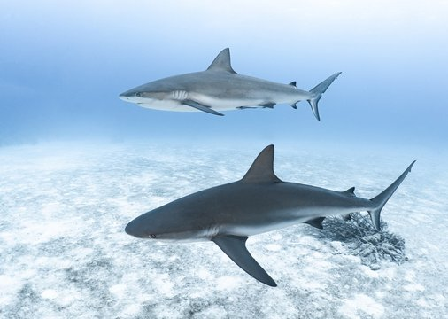 Pair of sharks swimming in the ocean during daytime