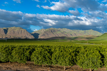 Olive Plantation in Bakersfield, California. Beautiful Sunset Light