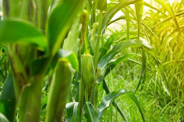 picture of corn cob in organic corn field.