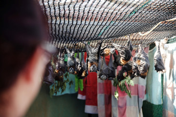 Janine Davies, who set up Shoalhaven Bat Clinic, a care centre for flying foxes, in her home, looks at bats in Bomaderry