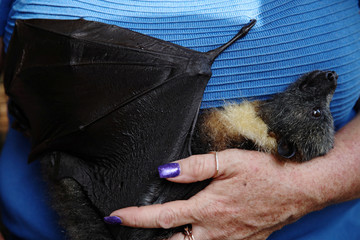 Grey-headed flying fox Winston is by Janine Davies, who set up Shoalhaven Bat Clinic, a care centre for flying foxes, in her home in Bomaderry