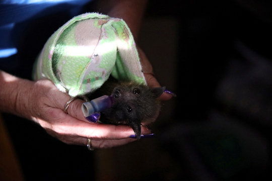 A baby grey-headed flying fox with a 'pacifier' looks on in Bomaderry