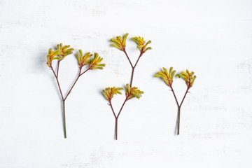 Australian native yellow Kangaroo paw, photographed from above, on a rustic white background. Fotobehang