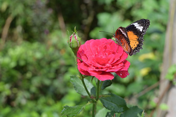 orange and black pattern on wing of butterfly on pink rose flower with water dew drop on petal in morning beautiful day
