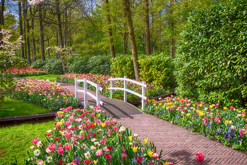 Fototapete - multicolored Tulips in the Keukenhof park in Netherlands