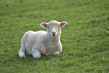 Front view of young lamb resting in short grass.